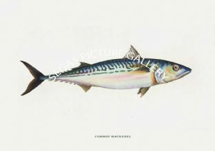Mackerel, Common